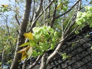 「御衣黄桜」咲き始めました!